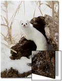 Stoat (Mustela erminea) adult  in 'ermine' white winter coat  climbing over log in snow  Minnesota