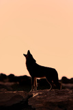 Coyote (Canis latrans) adult  howling  silhouetted at sunrise in high desert  Monument Valley