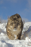 Snow Leopard (Panthera uncia) adult  walking in snow  winter (captive)