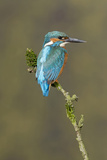 Common Kingfisher (Alcedo atthis) adult male  perched on mossy twig  Suffolk  England