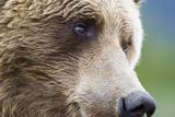 Grizzly Bear (Ursus arctos horribilis) adult  close-up of face  Katmai   Alaska