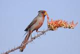 Pyrrhuloxia (Cardinalis sinuatus) adult male  feeding on ocotillo flowers  USA
