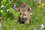 American Red Fox (Vulpes vulpes fulva) ten-weeks old cub  resting amongst flowers in meadow