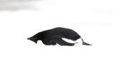 Adelie Penguin (Pygoscelis adeliae) adult  resting on snow  Antarctic Peninsula  Antarctica