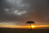 Tree silhouetted in savannah habitat at sunset  Masai Mara  Kenya