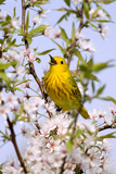 Yellow Warbler (Dendroica petechia) adult male  singing  perched in flowering cherry  USA