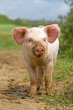 Domestic Pig  free-range piglet  standing  England