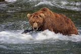 Grizzly Bear (Ursus arctos horribilis) adult  fishing for migrating salmon  Brooks River  Katmai