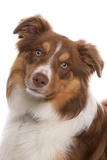 Domestic Dog  Border Collie  liver tricolour adult  close-up of head