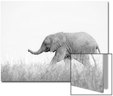 African Elephant (Loxodonta africana) young  walking through dry grass  Tuli Block