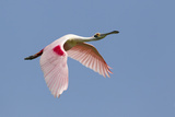 Roseate Spoonbill (Ajaia ajaja) adult  in flight  High Island  Bolivar Peninsula