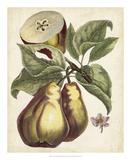 Antique Pear Study I