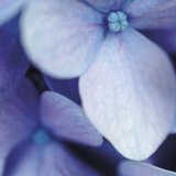 Blue Hydrangea 1