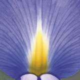Blue Iris Abstract No 2