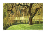 Bainbridge Island Willow