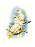 Goffin's Cockatoo no 121