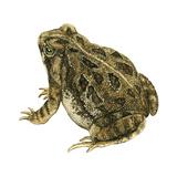 Fowler's Toad (Bufo Fowleri)  Amphibians