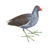 Florida Gallinule (Gallinula Chloropus)  Birds