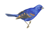 Blue Grosbeak (Passerina Caerulea)  Birds