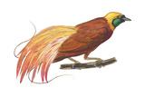 Greater Bird-Of-Paradise (Paradisaea Apoda)  Birds