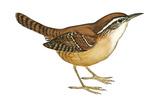 Carolina Wren (Thryothorus Ludovicianus)  Birds
