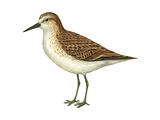 Semipalmated Sandpiper (Calidris Pusilla)  Birds