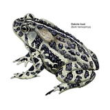 Dakota Toad (Bufo Hemiophrys)  Amphibians