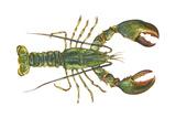 American Lobster (Homarus Americanus)  Crustaceans