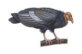 California Condor (Gymnogyps Californianus)  Birds