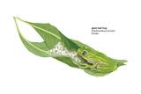 Giant Leaf Frog (Phyllomedusa Bicolor)  Amphibians