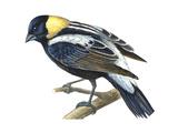 Bobolink (Dolochonyx Oryzivorus)  Birds