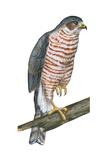 Sharp-Skinned Hawk (Accipiter Striatus)  Birds