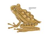 Horned Marsupial Frog (Gastrotheca Cornuta)  Amphibians