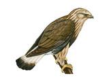 Rough-Legged Hawk (Buteo Lagopus)  Birds