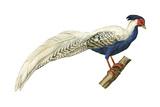 Silver Pheasant (Lophura Nycthemera)  Birds