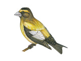 Evening Grosbeak (Coccothraustes Vespertinus)  Birds