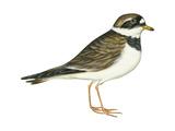 Ringed Plover (Charadrius Hiaticula)  Birds