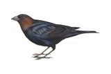 Brown-Headed Cowbird (Molothrus Ater)  Birds