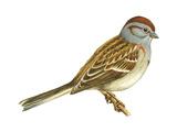 Tree Sparrow (Spizella Arborea)  Birds