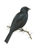 Cuckoo-Shrike (Campephaga)  Birds
