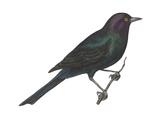 Brewer's Blackbird (Euphagus Cyanocephalus)  Birds