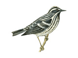 Black-And-White Warbler (Mniotilta Varia)  Birds