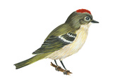 Ruby-Crowned Kinglet (Regulus Calendula)  Bird
