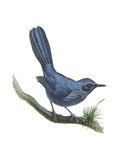 Blue Mockingbird (Melanotis Caerulescens)  Birds