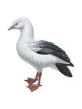 Andean Goose (Chloephaga Melanoptera)  Birds