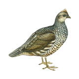 Scaled Quail (Callipepla Squamata)  Birds
