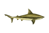 Brown Shark (Carcharhinus Milberti)  Fishes