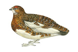 Willow Ptarmigan (Lagopus Lagopus)  Birds