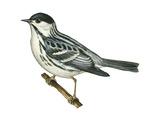 Black-Poll Warbler (Dendroica Striata)  Birds