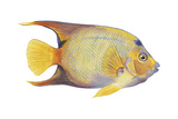 Angelfish (Holacanthus Ciliaris)  Fishes